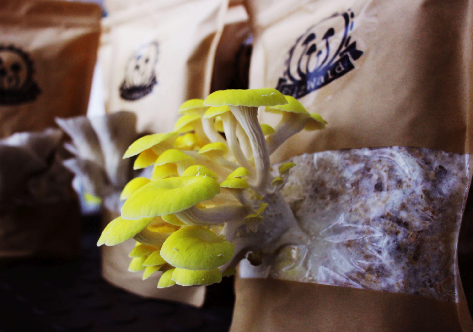Pilz, der aus der Packung wächst... (Foto: PilzWald Pilzmanufaktur)