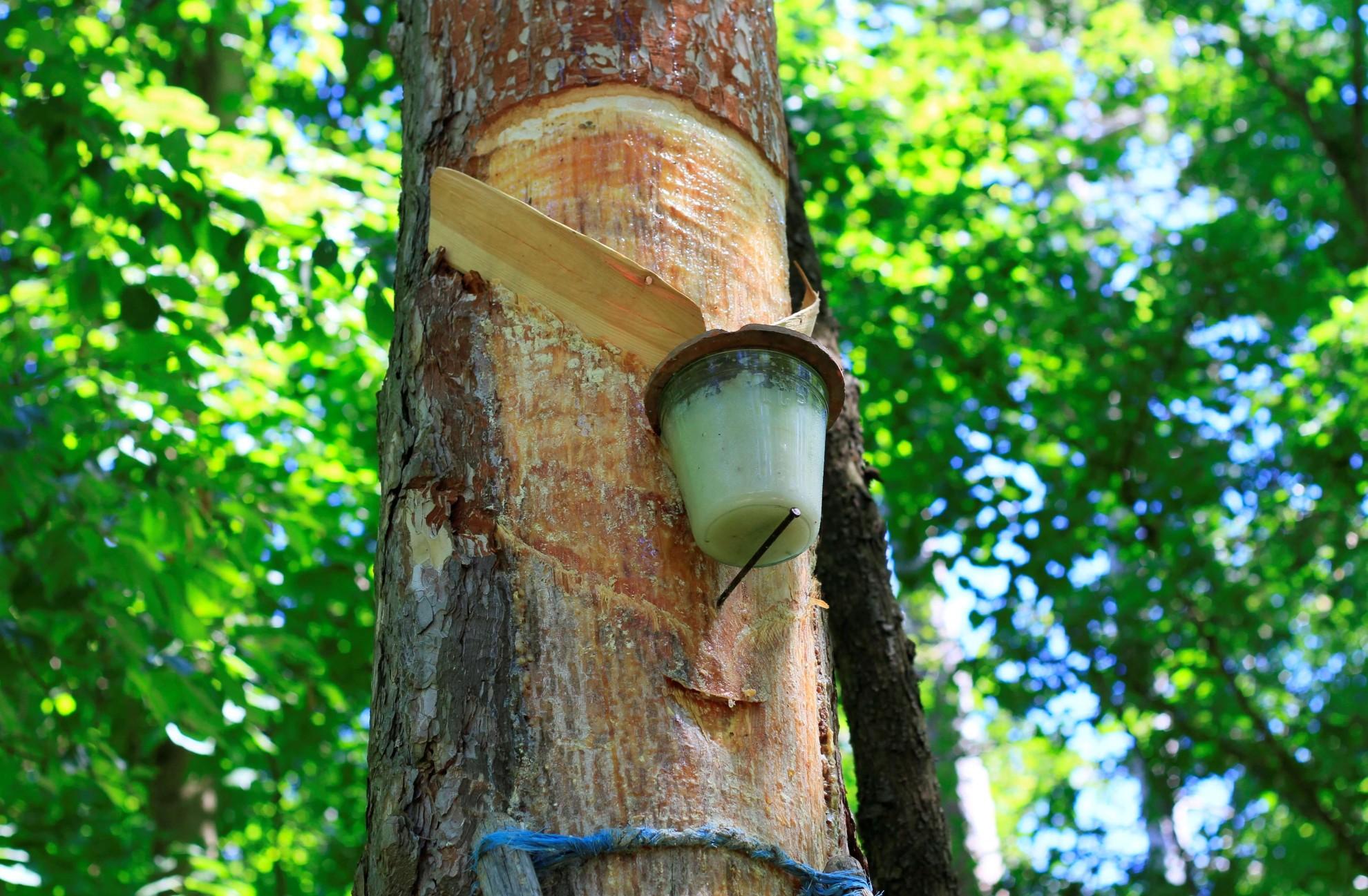 Der natürliche Abbau des Harzes wird bei Alpengummi gefördert. (Foto: Alpengummi)