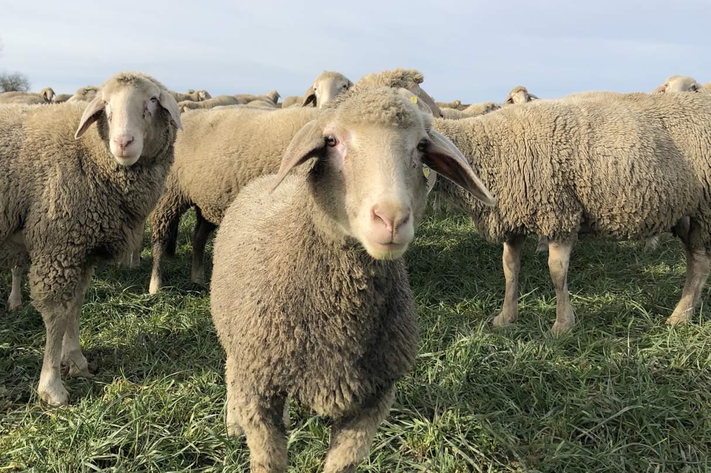Das könnte Schaf Paula sein... (Foto: Paula & Konsorten)